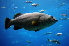 Giant grouper Stock Photo