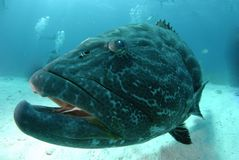 Giant Grouper. Big fish, giant grouper with mouth open royalty free stock image