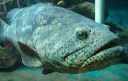 Giant Grouper. A Giant Grouper Swimming royalty free stock image
