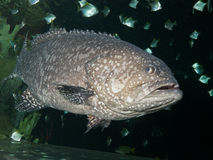 The Giant grouper. (Epinephelus lanceolatus), also known as the brindle bass, brown spotted cod, or bumblebee grouper and as the Queensland groper Royalty Free Stock Photo