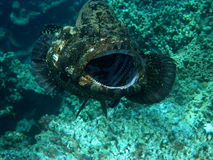Free Giant Grouper Being Cleaned Fiji Stock Images - 13197034