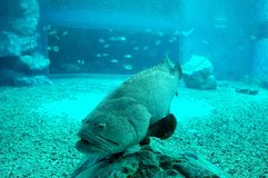 Giant grouper. Big fish at institute of marine science, Burapha Thailand stock photography