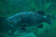 Giant grouper Epinephelus lanceolatus. Also known as the banded rockcod Royalty Free Stock Images