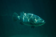 Giant grouper Epinephelus lanceolatus. Also known as the banded rockcod Stock Images