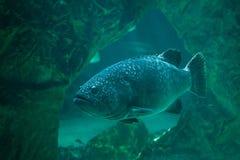 Giant grouper Epinephelus lanceolatus. Also known as the banded rockcod Stock Photo