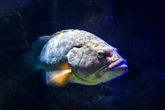 Giant grouper Epinephelus lanceolatus , also known as the banded rockcod. Giant grouper Epinephelus lanceolatus , also known as banded rockcod royalty free stock images