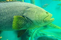Giant grouper Stock Images