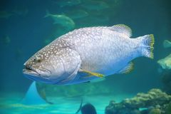Giant grouper. The giant grouper (Epinephelus lanceolatus), also known as the brindlebass, brown spotted cod, or bumblebee grouper, and as the Queensland grouper Stock Photos
