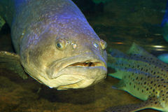 Giant grouper Royalty Free Stock Photography
