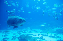 Giant grouper fish looking Royalty Free Stock Photography
