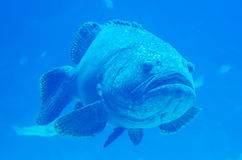Giant grouper fish looking Stock Image