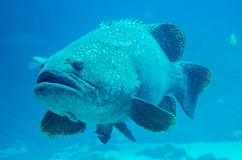 Giant grouper fish looking. At diver Stock Image