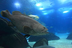 Giant grouper Royalty Free Stock Photos