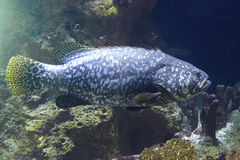 Giant grouper Stock Image