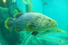 Giant grouper Royalty Free Stock Photo