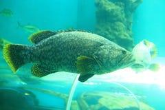 Giant grouper Stock Image