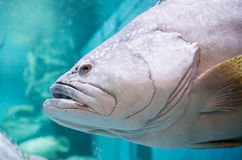 Giant grouper or Queensland grouper Stock Photo