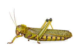Giant guianas locust against white background Royalty Free Stock Photos