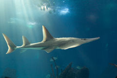 Giant guitarfish. (Rhynchobatus djiddensis) on Lisbon oceanarium royalty free stock photos