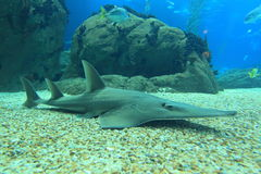 Giant guitarfish Royalty Free Stock Photo
