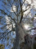 Giant gum reaching for the sun stock images