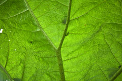 Giant Gunnera leaf. Stock Photos