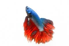 Giant halfmoon fighting fish stock images