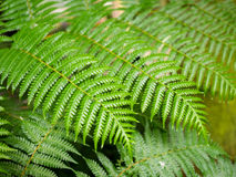 Giant hare`s - foot, Polynesiam foot fern. Green Giant hare`s - foot, Polynesiam foot fern Stock Image