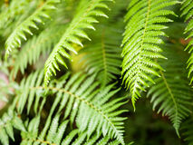 Giant hare`s - foot, Polynesiam foot fern. Green Giant hare`s - foot, Polynesiam foot fern Stock Photo