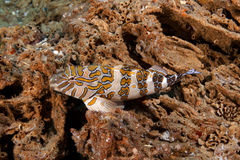 Giant Hawkfish (Cirrhitus rivulatus) Royalty Free Stock Photos