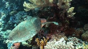 Giant Hawksbill sea turtle Eretmochelys imbricata in pure transparent water. Relax underwater video about marine reptile Cheloniidae stock video footage