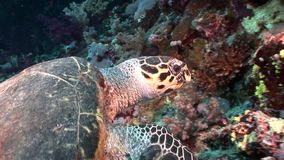 Giant Hawksbill sea turtle Eretmochelys imbricata in pure transparent water. Relax underwater video about marine reptile Cheloniidae stock video