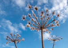 Giant ( Heracleum ) in winter Royalty Free Stock Image