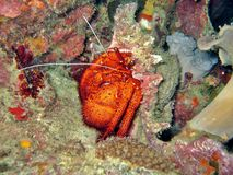 Giant Hermit Crab stock photos