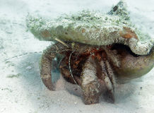 Giant hermit crab in shell, roatan, honduras Stock Photo