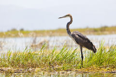Giant Heron at Lake Baringo, Kenya Stock Photos