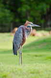 Giant Heron standing green background Royalty Free Stock Image