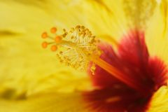 Giant hibiscus. Wild and colourful hibiscus of tropical country of Malaysia Royalty Free Stock Photos