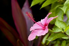 Giant Hibiscus flower Royalty Free Stock Photo