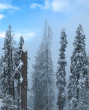Giant Himalayan pine trees covered with snow on a hillside Royalty Free Stock Images