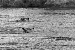 Giant hippos swimming in the river. stock photography