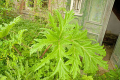 Giant hogweed. An image of the leaves of a Giant Hogweed plant which is encroaching on an untended cottage garden Stock Image