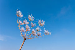 Giant hogweed Royalty Free Stock Image
