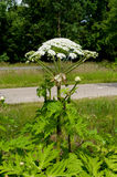 Giant hogweed Stock Image