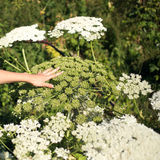 Giant hogweed compared to the hand Royalty Free Stock Images