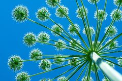 Giant hogweed cow-grass grows towards the sun, bottom view. Closeup Stock Photography