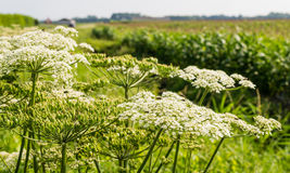 Giant Hogweed on the edge of a field Stock Photography