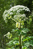 Giant hogweed on the edge of the forest Royalty Free Stock Images