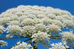 Giant Hogweed flowering Stock Images