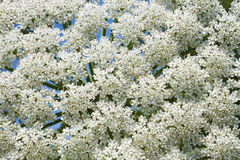 Giant Hogweed flowering, close-up Stock Image